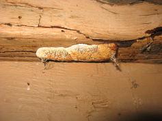 hard sponge-like fungus on fencepost