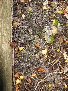 Purple Moss-like Fungus