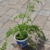 Carrot plant with flowers